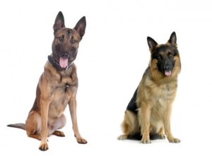 Belgian Malinois (left) and German Shepherd (right)
